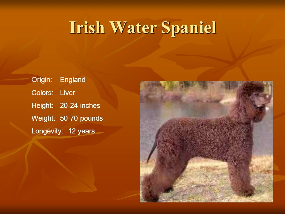 Irish Water Spaniel Origin:England Colors:Liver Height:20-24 inches Weight:50-70 pounds Longevity: 12 years
