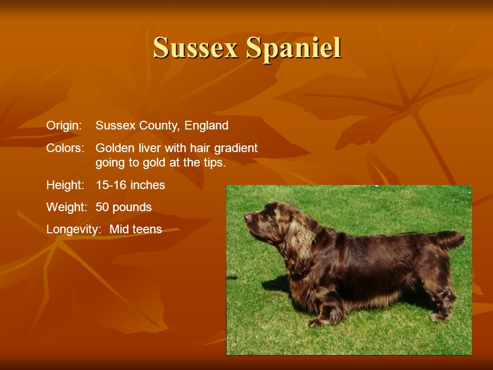 Sussex Spaniel Origin:Sussex County, England Colors:Golden liver with hair gradient going to gold at the tips. Height:15-16 inches Weight:50 pounds Lo
