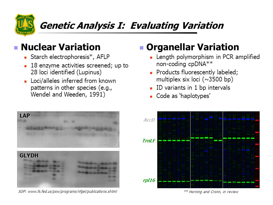 Genetic Analysis I: Evaluating Variation Nuclear Variation Starch electrophoresis*, AFLP 18 enzyme activities screened; up to 28 loci identified (Lupi
