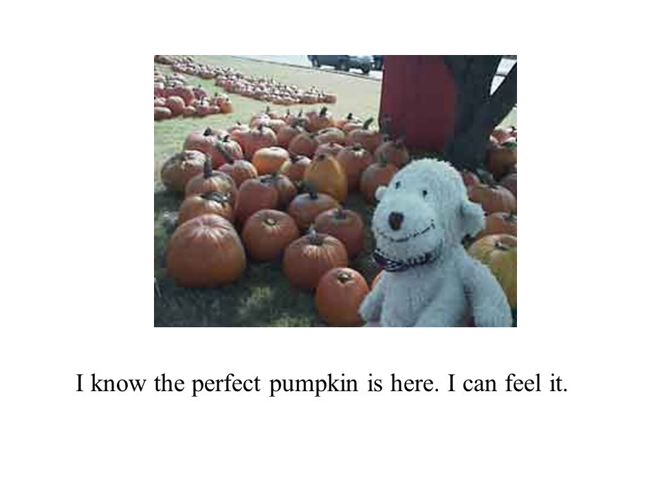 I know the perfect pumpkin is here. I can feel it.