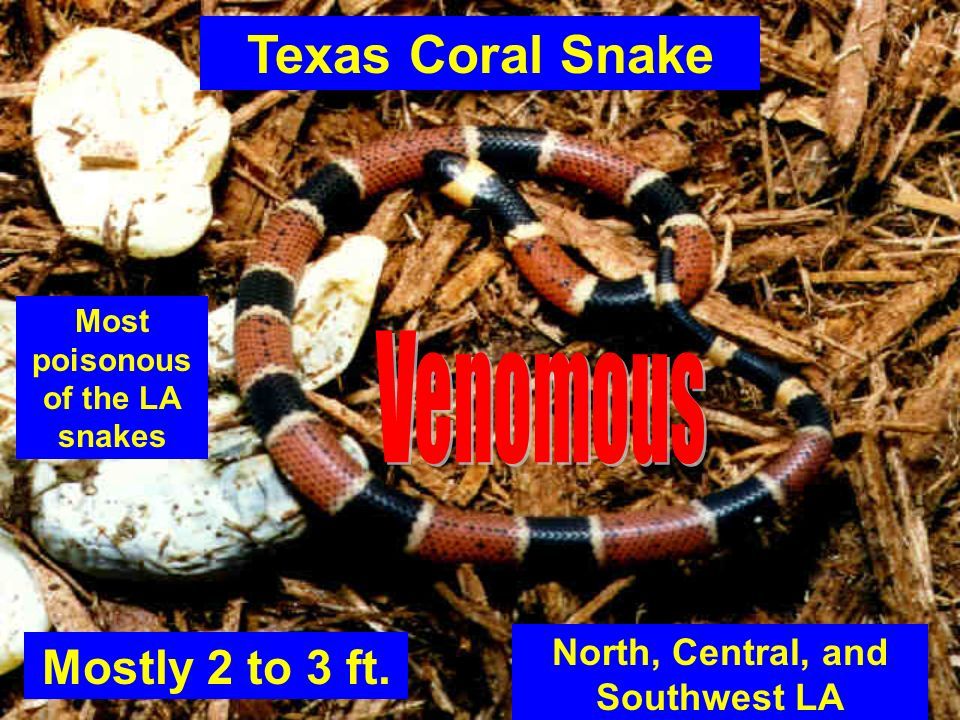 Texas Coral Snake Mostly 2 to 3 ft. North, Central, and Southwest LA Most poisonous of the LA snakes