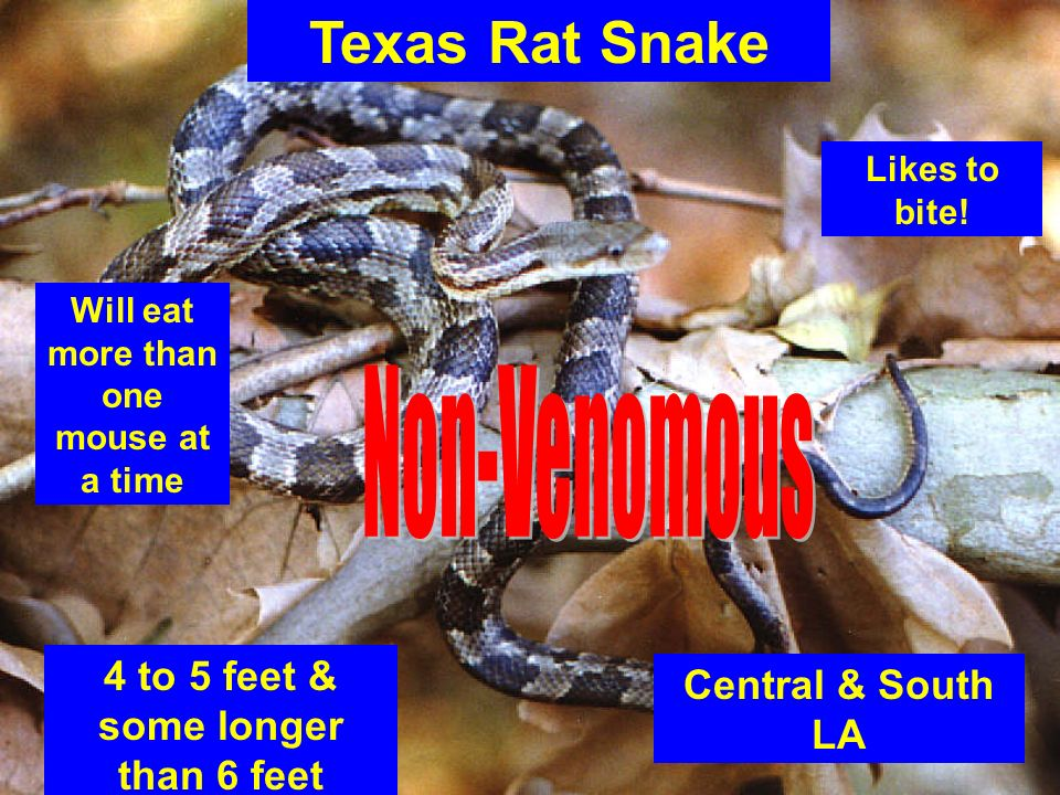 Texas Rat Snake 4 to 5 feet & some longer than 6 feet Central & South LA Will eat more than one mouse at a time Likes to bite!