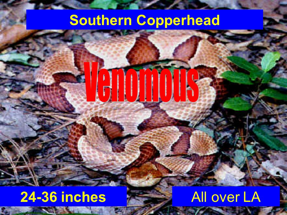 Southern Copperhead 24-36 inchesAll over LA
