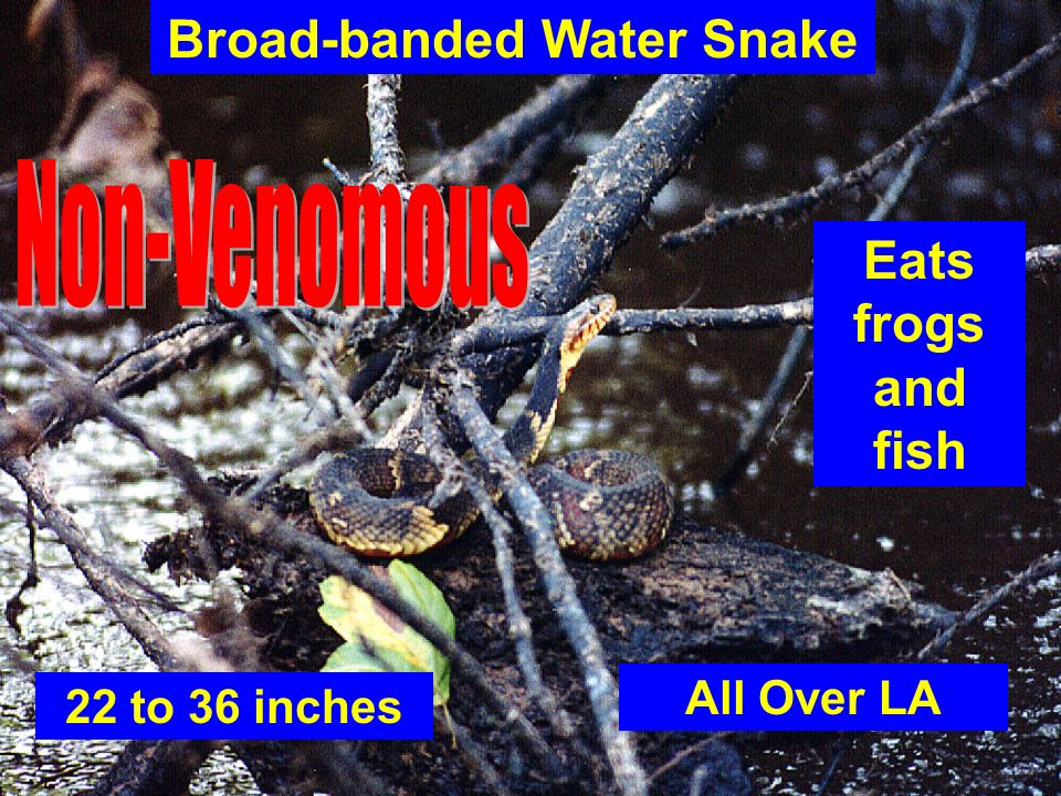22 to 36 inches Broad-banded Water Snake All Over LA Eats frogs and fish