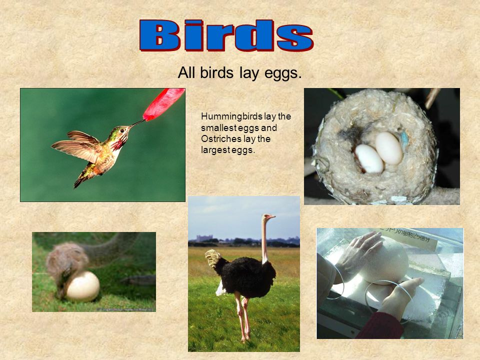 All birds lay eggs. Hummingbirds lay the smallest eggs and Ostriches lay the largest eggs.