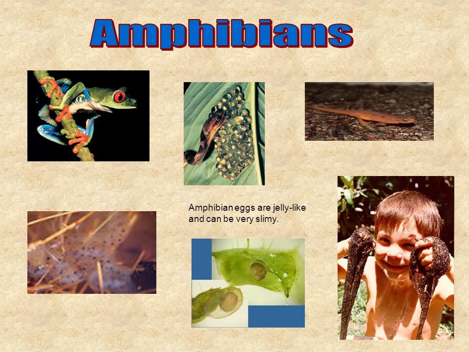 Amphibian eggs are jelly-like and can be very slimy.