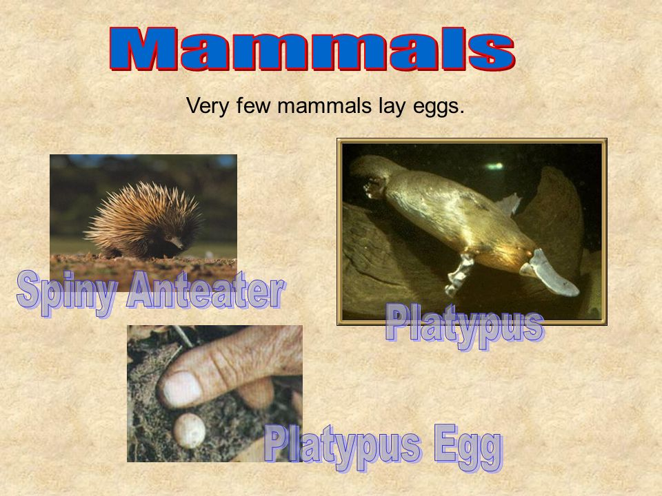 Very few mammals lay eggs.