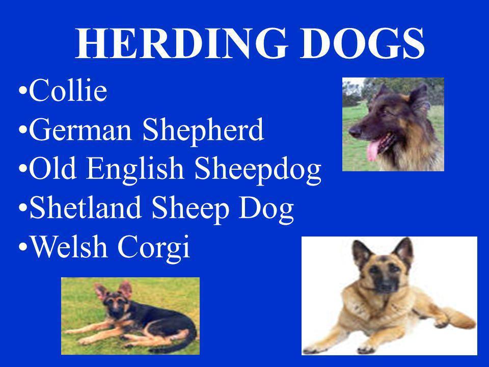 HERDING DOGS Collie German Shepherd Old English Sheepdog Shetland Sheep Dog Welsh Corgi