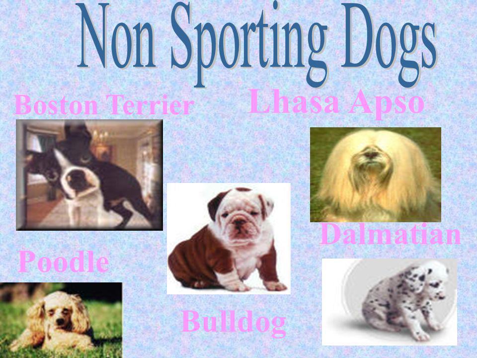 Boston Terrier Bulldog Dalmatian Lhasa Apso Poodle