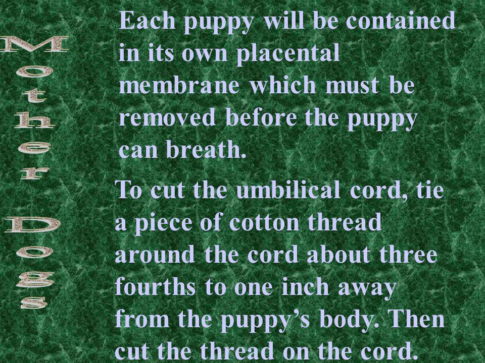 Each puppy will be contained in its own placental membrane which must be removed before the puppy can breath. To cut the umbilical cord, tie a piece o
