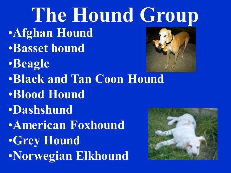The Hound Group Afghan Hound Basset hound Beagle Black and Tan Coon Hound Blood Hound Dashshund American Foxhound Grey Hound Norwegian Elkhound