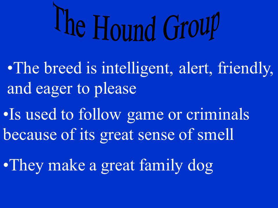 Is used to follow game or criminals because of its great sense of smell The breed is intelligent, alert, friendly, and eager to please They make a gre