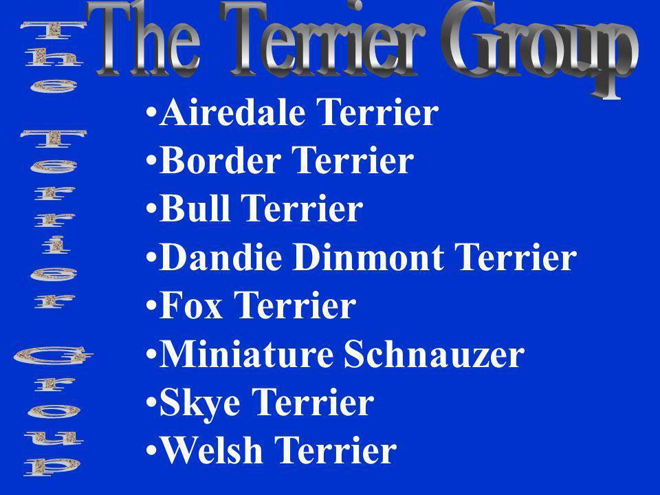 Airedale Terrier Border Terrier Bull Terrier Dandie Dinmont Terrier Fox Terrier Miniature Schnauzer Skye Terrier Welsh Terrier