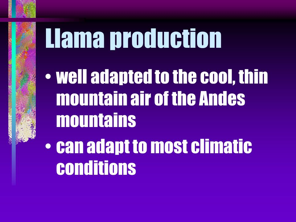 Llama production native to South America belong to the same family as camels in Chile, Peru and Bolivia were raised by the ancient Incas for work anim