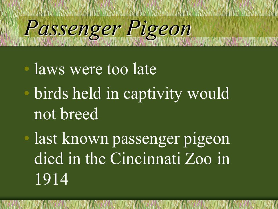 Passenger Pigeon laws were too late birds held in captivity would not breed last known passenger pigeon died in the Cincinnati Zoo in 1914