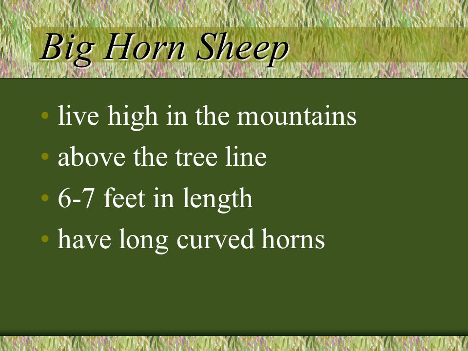 Big Horn Sheep live high in the mountains above the tree line 6-7 feet in length have long curved horns
