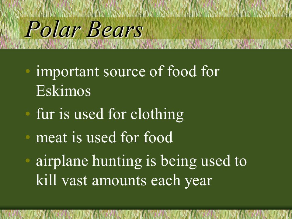 Polar Bears important source of food for Eskimos fur is used for clothing meat is used for food airplane hunting is being used to kill vast amounts each year