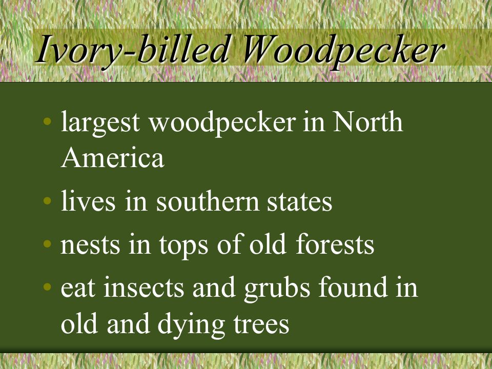 Ivory-billed Woodpecker Ivory-billed Woodpecker largest woodpecker in North America lives in southern states nests in tops of old forests eat insects and grubs found in old and dying trees