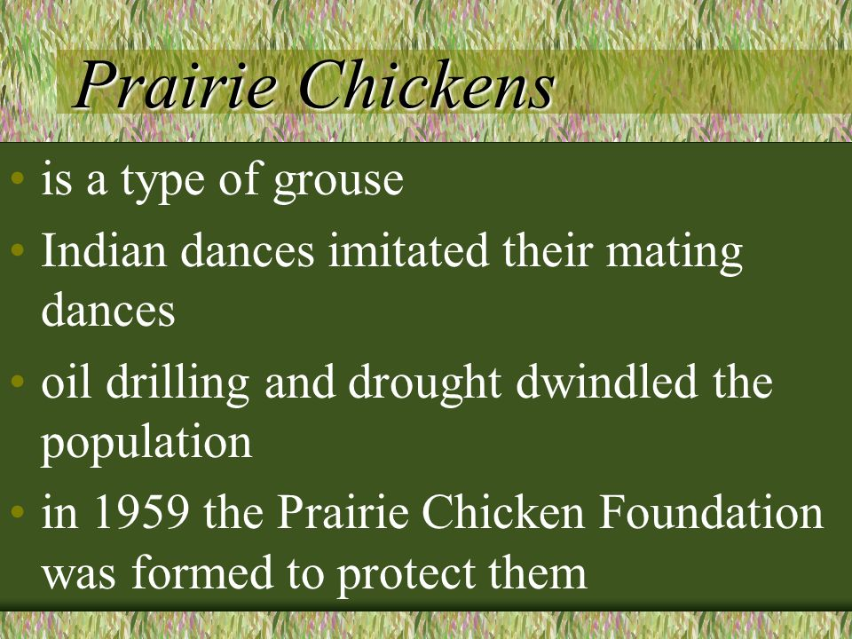 Prairie Chickens is a type of grouse Indian dances imitated their mating dances oil drilling and drought dwindled the population in 1959 the Prairie Chicken Foundation was formed to protect them