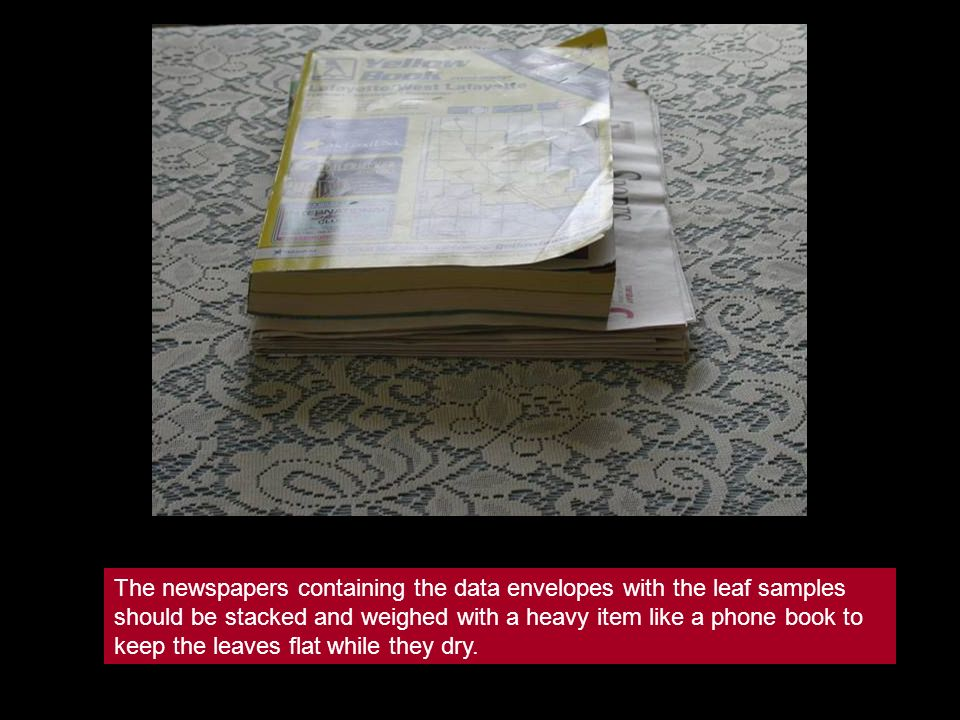 The newspapers containing the data envelopes with the leaf samples should be stacked and weighed with a heavy item like a phone book to keep the leave