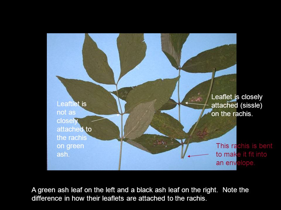 A green ash leaf on the left and a black ash leaf on the right. Note the difference in how their leaflets are attached to the rachis. Leaflet is close