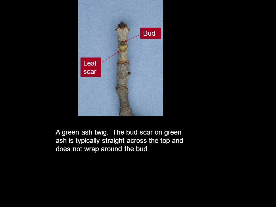 A green ash twig. The bud scar on green ash is typically straight across the top and does not wrap around the bud. Bud Leaf scar