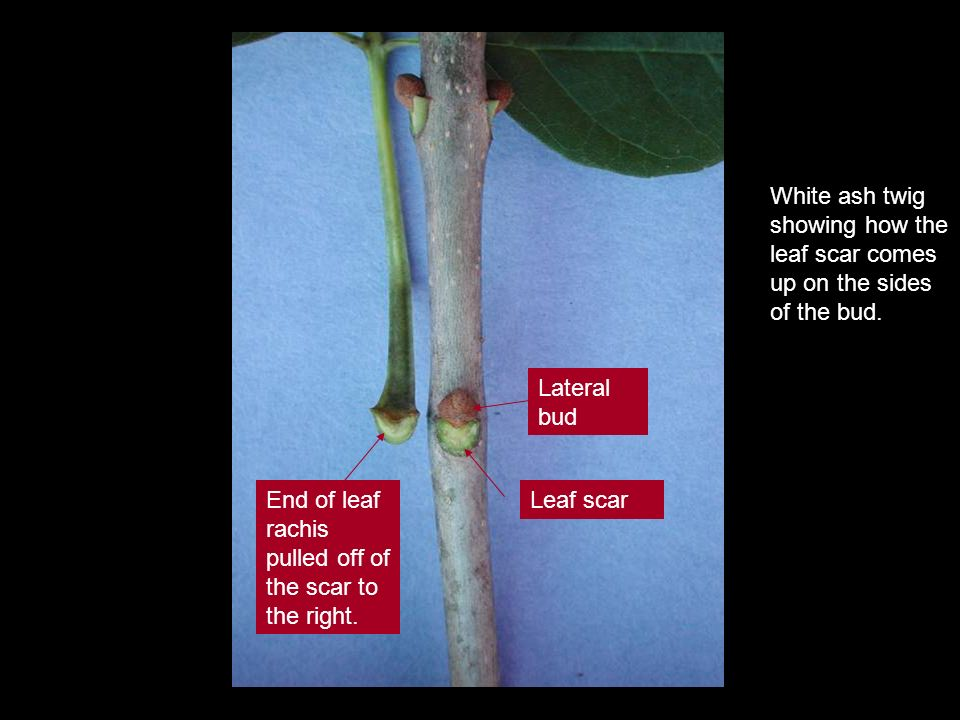 White ash twig showing how the leaf scar comes up on the sides of the bud.