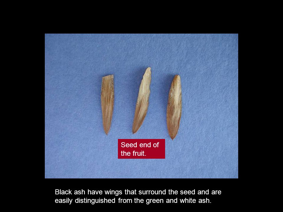 Black ash have wings that surround the seed and are easily distinguished from the green and white ash. Seed end of the fruit.