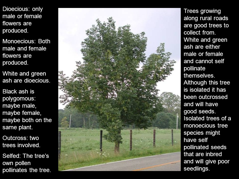 Trees growing along rural roads are good trees to collect from. White and green ash are either male or female and cannot self pollinate themselves. Al