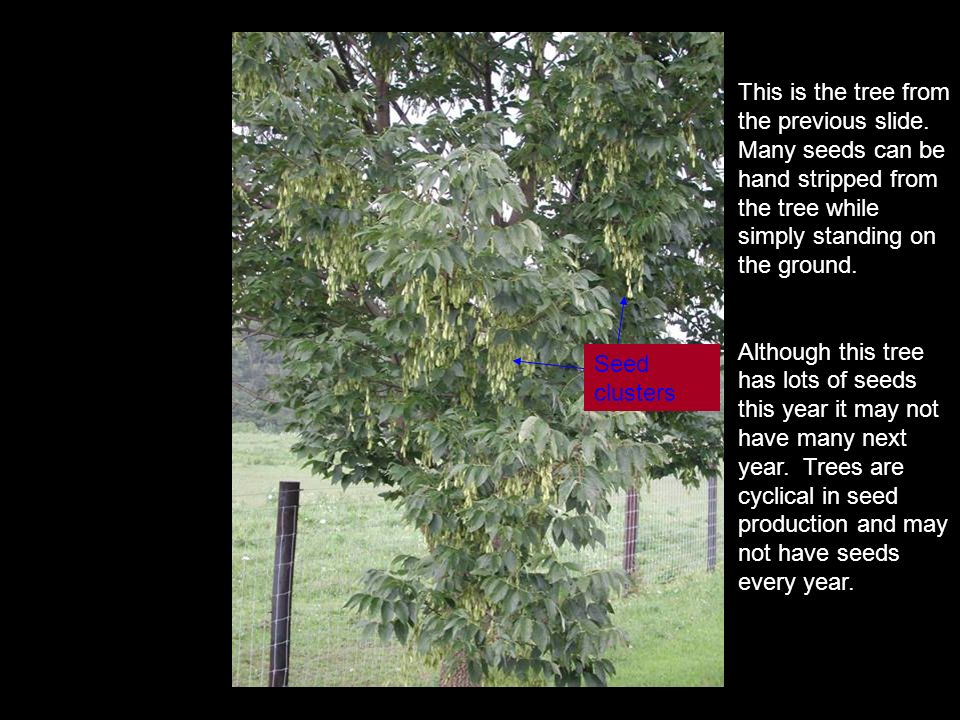 This is the tree from the previous slide. Many seeds can be hand stripped from the tree while simply standing on the ground. Although this tree has lo