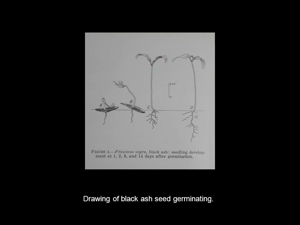 Drawing of black ash seed germinating.