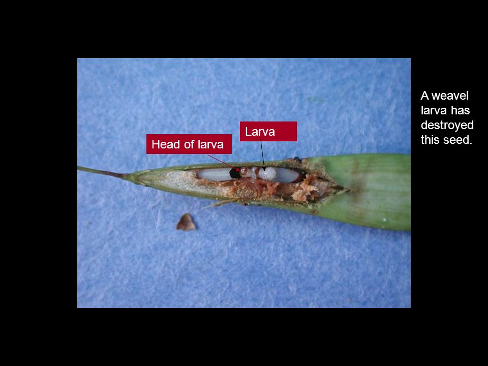 A weavel larva has destroyed this seed. Larva Head of larva