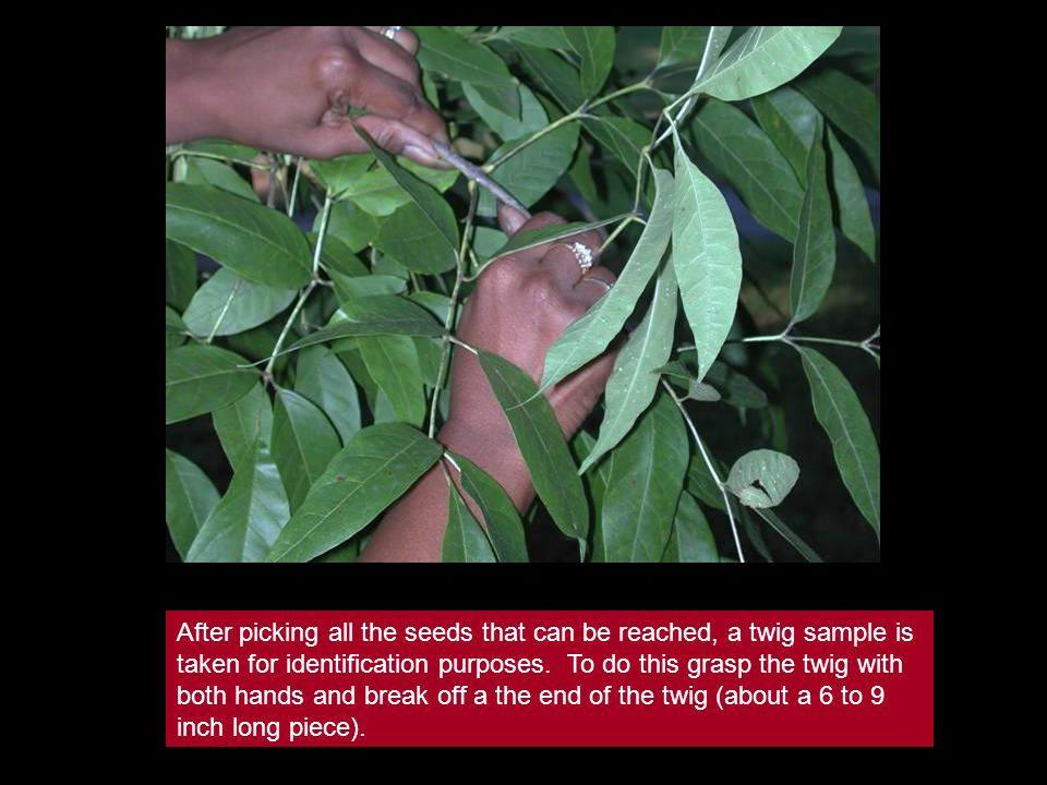After picking all the seeds that can be reached, a twig sample is taken for identification purposes. To do this grasp the twig with both hands and bre