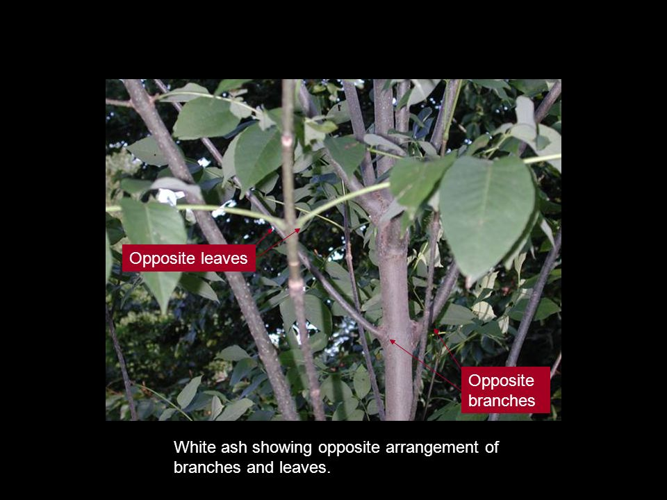 White ash showing opposite arrangement of branches and leaves. Opposite leaves Opposite branches