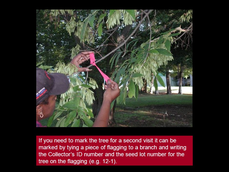 If you need to mark the tree for a second visit it can be marked by tying a piece of flagging to a branch and writing the Collectors ID number and the
