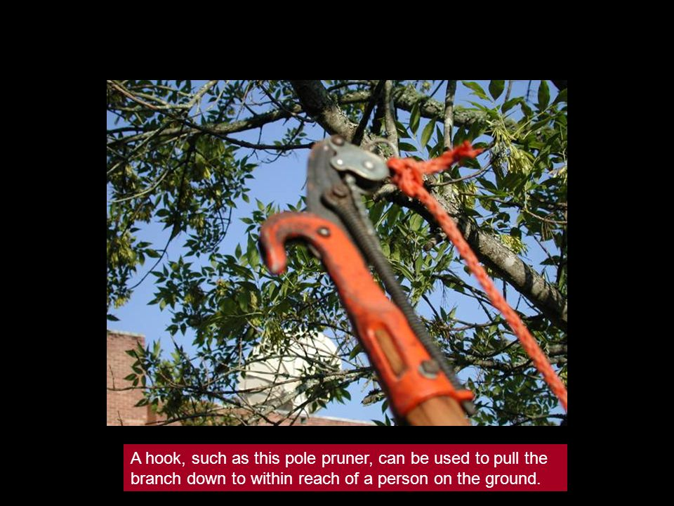 A hook, such as this pole pruner, can be used to pull the branch down to within reach of a person on the ground.