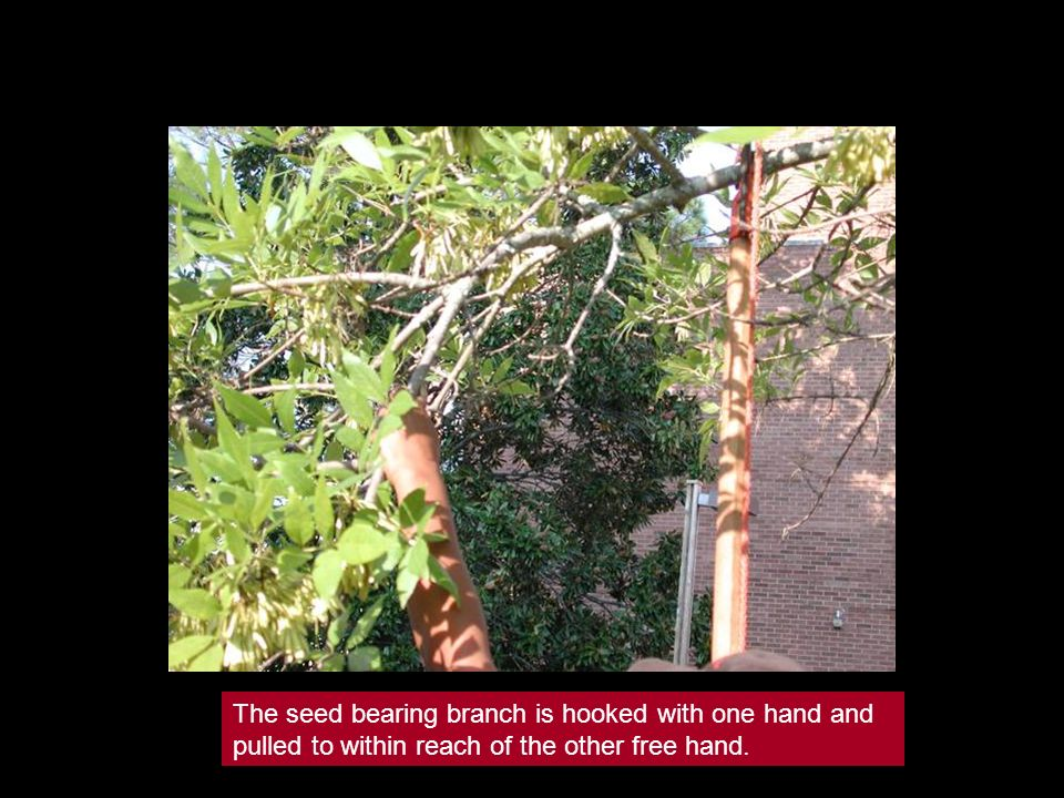 The seed bearing branch is hooked with one hand and pulled to within reach of the other free hand.
