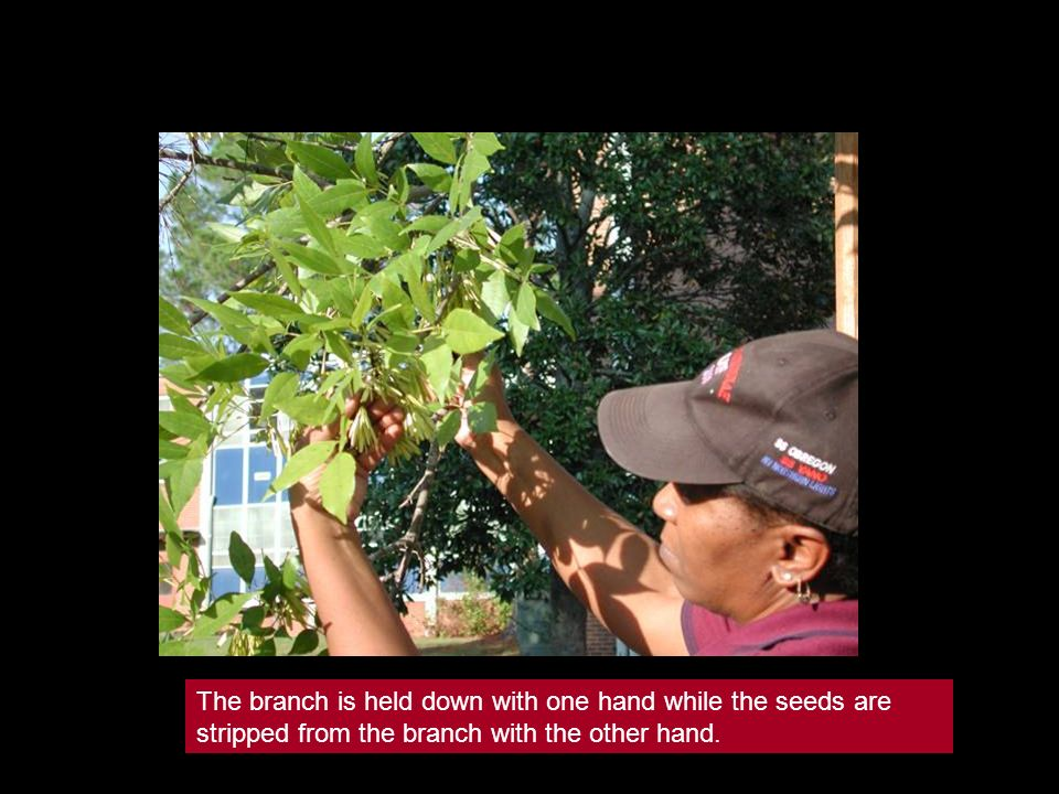 The branch is held down with one hand while the seeds are stripped from the branch with the other hand.