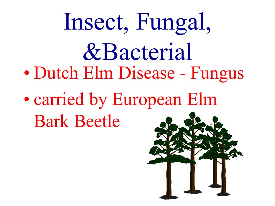 Insect, Fungal, &Bacterial Dutch Elm Disease - Fungus carried by European Elm Bark Beetle