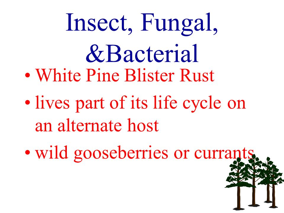 Insect, Fungal, &Bacterial White Pine Blister Rust lives part of its life cycle on an alternate host wild gooseberries or currants