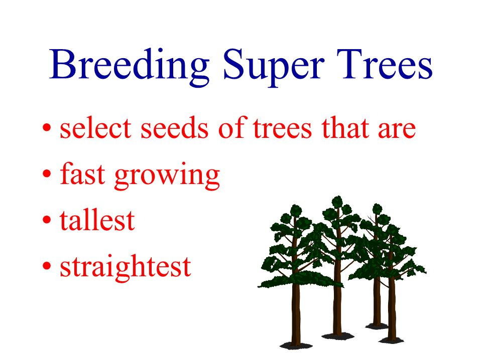 Breeding Super Trees select seeds of trees that are fast growing tallest straightest