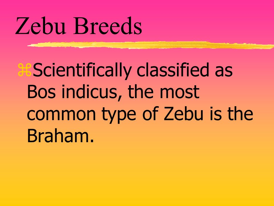 Zebu Breeds zScientifically classified as Bos indicus, the most common type of Zebu is the Braham.