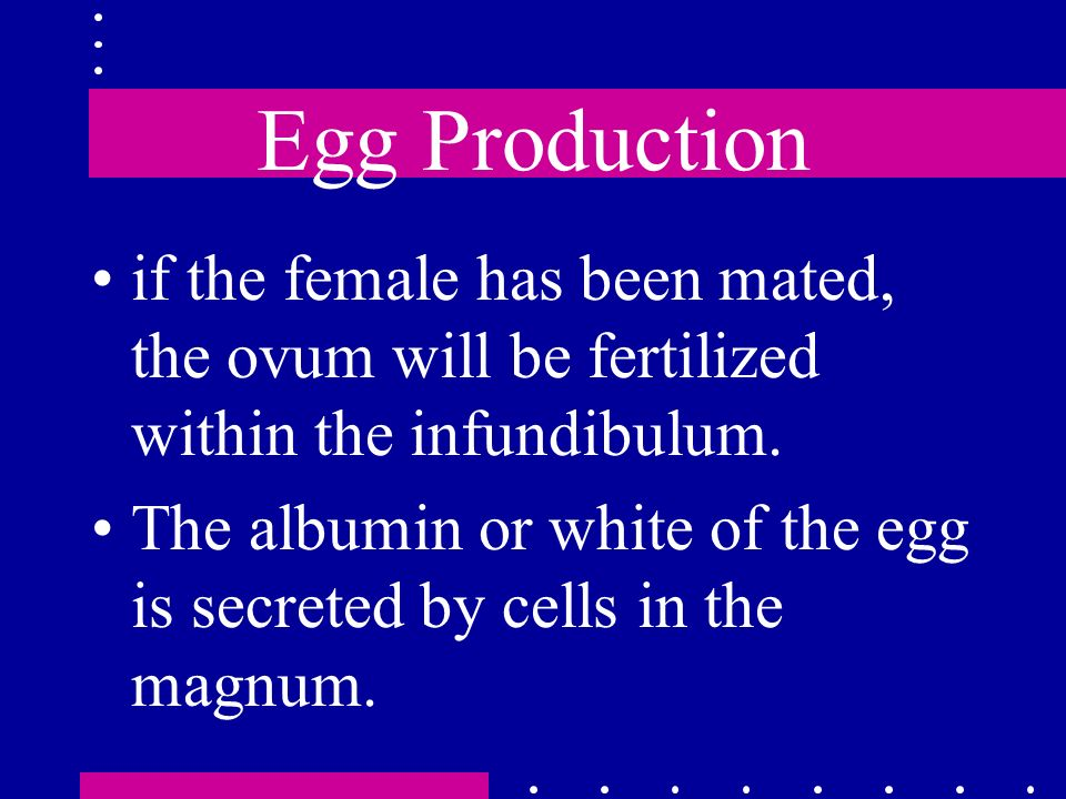 Egg Production if the female has been mated, the ovum will be fertilized within the infundibulum. The albumin or white of the egg is secreted by cells