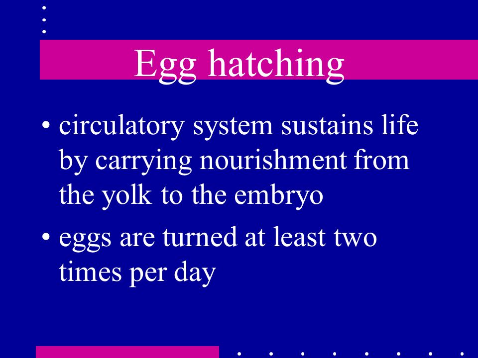 Egg hatching circulatory system sustains life by carrying nourishment from the yolk to the embryo eggs are turned at least two times per day