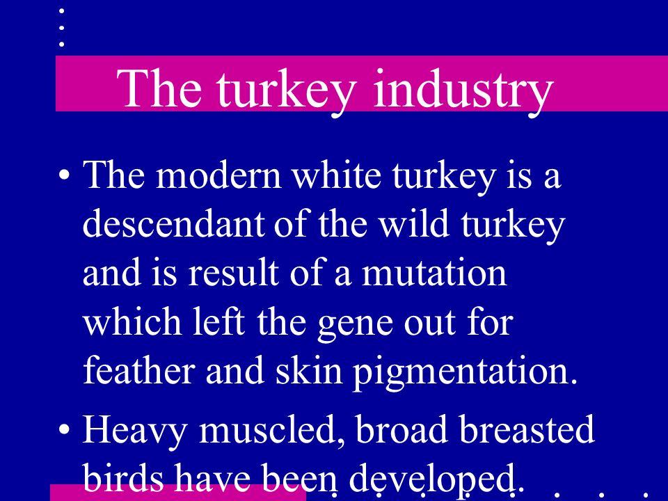 The turkey industry The modern white turkey is a descendant of the wild turkey and is result of a mutation which left the gene out for feather and ski