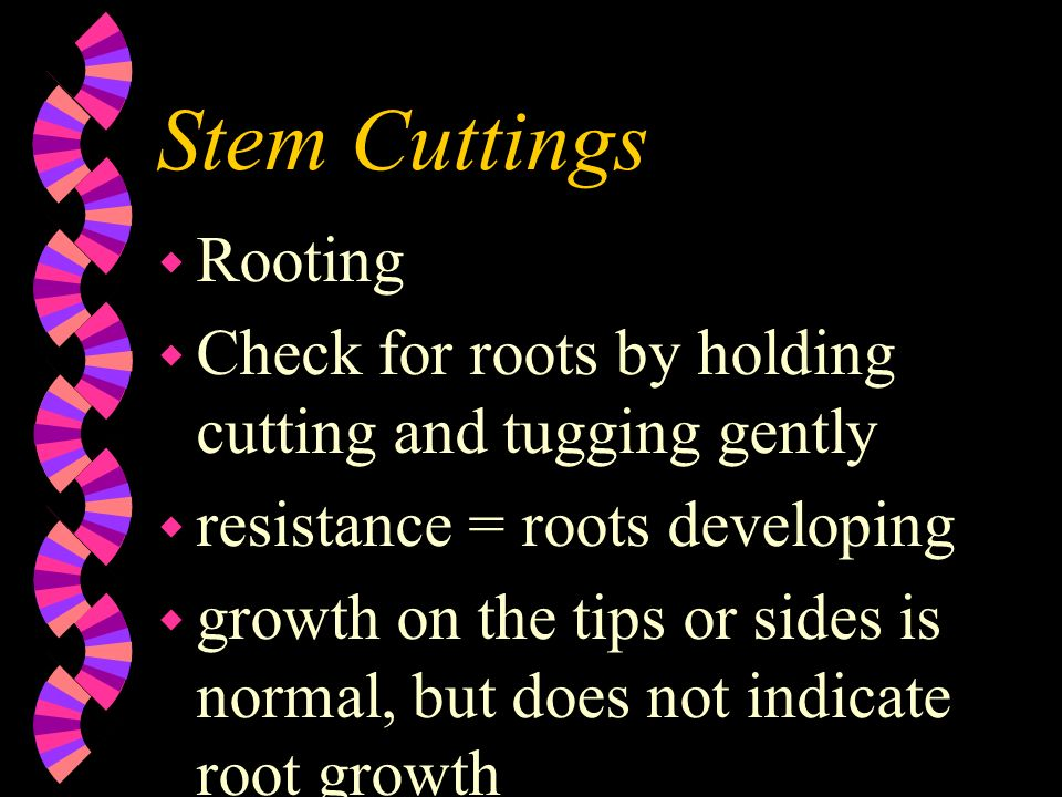 Stem Cuttings w Rooting w Check for roots by holding cutting and tugging gently w resistance = roots developing w growth on the tips or sides is norma