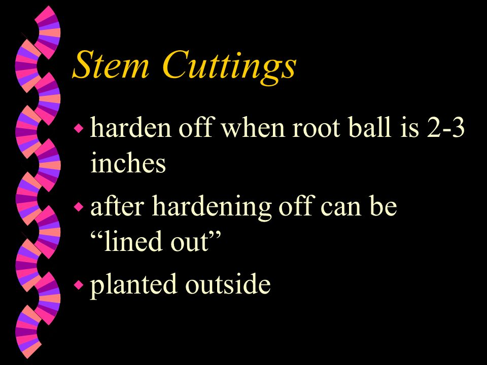 Stem Cuttings w harden off when root ball is 2-3 inches w after hardening off can be lined out w planted outside