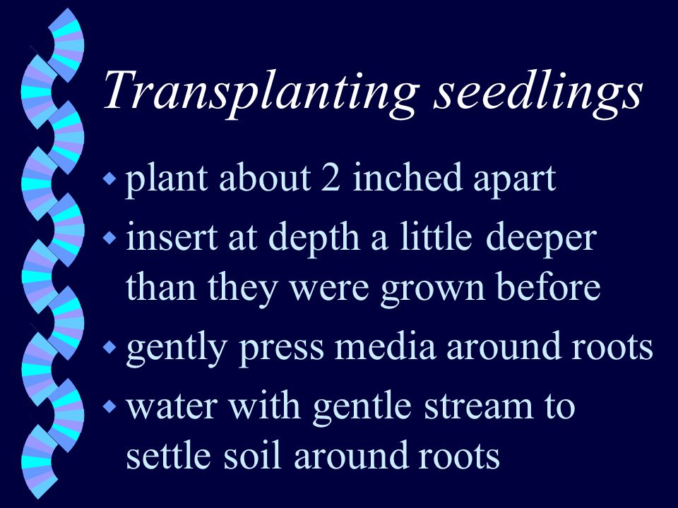 Transplanting seedlings w plant about 2 inched apart w insert at depth a little deeper than they were grown before w gently press media around roots w water with gentle stream to settle soil around roots