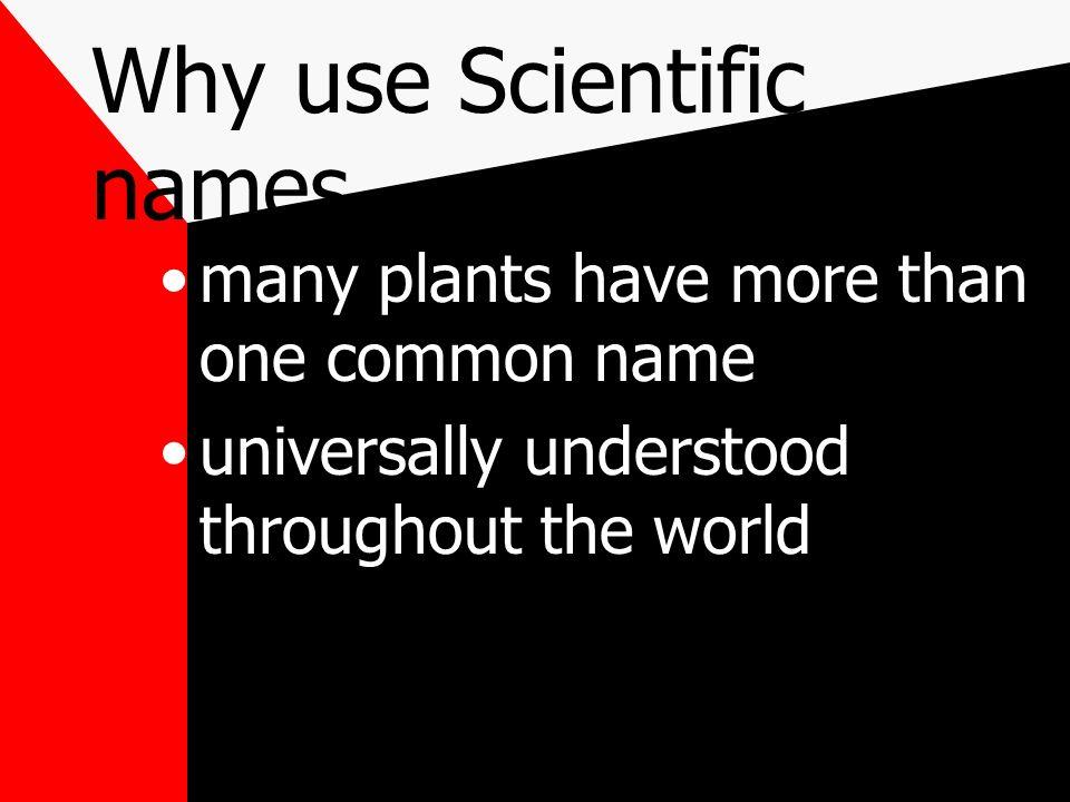Scientific Naming Zea maize - corn