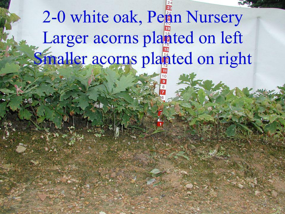 2-0 white oak, Penn Nursery Larger acorns planted on left Smaller acorns planted on right